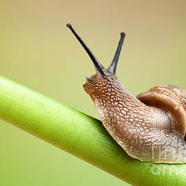 Snail on green stem by Johan Swanepoel
