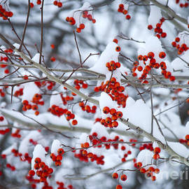 Alana Ranney - Snow and Red Berries