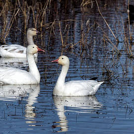 Kathleen Bishop - Snow Geese with Coots