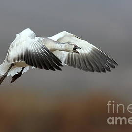 Snow goose squaking by Bryan Keil