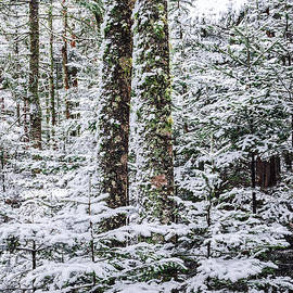 Marty Saccone - Snow Laden Forest