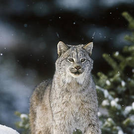 Snow Lynx by D Robert Franz