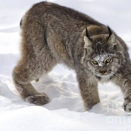 Snow-shovelling Lynx by Dee Cresswell