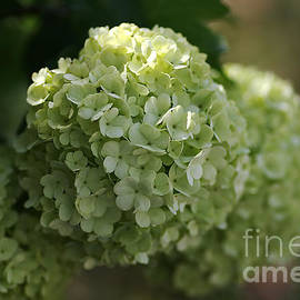 Joy Watson - Snowball Flowers