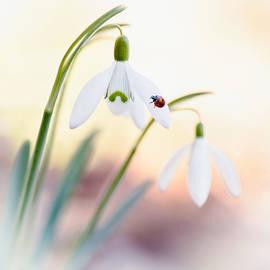 Sarah-fiona  Helme - Snowdrop Lady