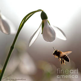 Snowdrops and the bee by Torbjorn Swenelius