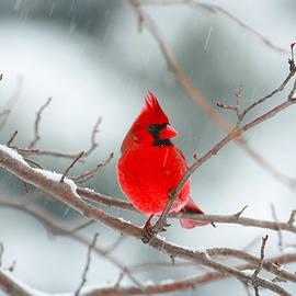 Snowy Cardinal by Karol Livote