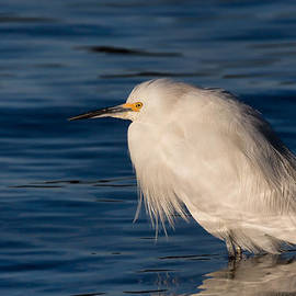 Kathleen Bishop - Snowy Egret