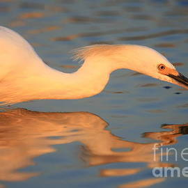 John F Tsumas - Snowy Egret Mirror