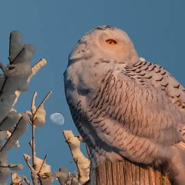 Snowy owl in morning light by Jeff Folger
