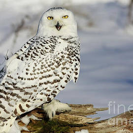 Inspired Nature Photography Fine Art Photography - Snowy Owl on a Winter Hunt