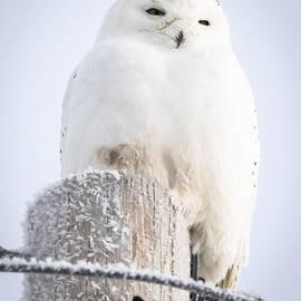 Ricky L Jones - Snowy Owl