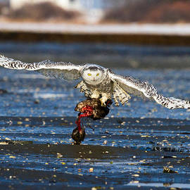 Chuck Homler - Snowy Owl with Black Duck