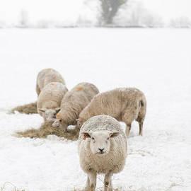 Anne Gilbert - Snowy Sheep