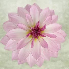 Soft Pink Dahlia by Kim Hojnacki