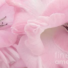 Soft Pink Glads by Ann Garrett