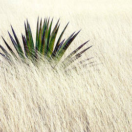 Solitary Agave by Douglas Taylor