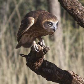Southern Boobok Owl by Venetia Featherstone-Witty