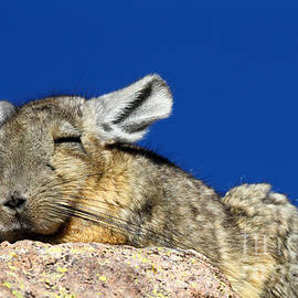 Southern Viscacha by James Brunker