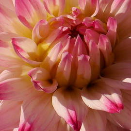 Christiane Schulze Art And Photography - Sparkling Pink Dahlia