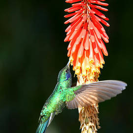 Sparkling Violetear Hummingbird by James Brunker