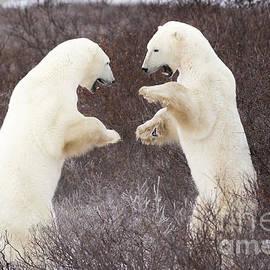 Mike Cavaroc - Sparring Polar Bears