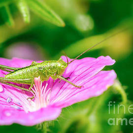 Speckled bush-cricket by Jivko Nakev