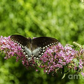 Mary Carol Story - Spicebush Swallowtail