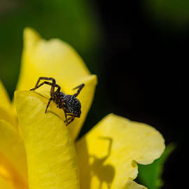 Spider and Her Shadow on Yellow Flower by Kaleidoscopik Photography