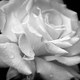 Jennie Marie Schell - Splendor of a White Rose Black and White
