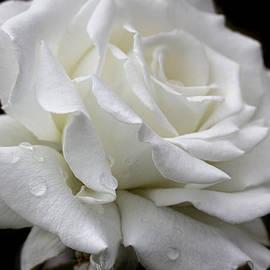 Jennie Marie Schell - Splendor of a White Rose Flower