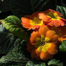 Georgia Mizuleva - Spotlight on Spring Primula Blooms