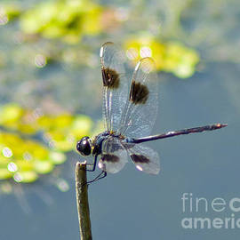 Spotted Dragonfly by Stephen Whalen