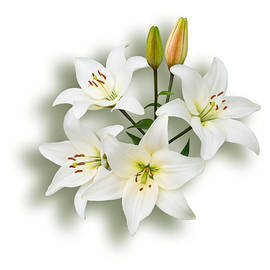 Spray of White Lilies by Jane McIlroy