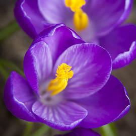 Spring Crocus by Adam Romanowicz