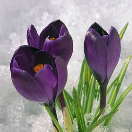Marion Owen - Spring Crocus