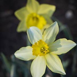 Spring Daffodils by MM Anderson