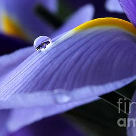 Spring Iris by Krissy Katsimbras