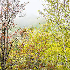 Spring Trees In Acadia by Susan Cole Kelly
