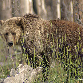 Springtime Grizzly in Yellowstone by Elaine Haberland