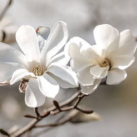 Springtime Magnolia Bloom by Julie Palencia