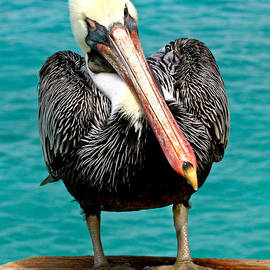 Squished Up Pelican by Jean Noren