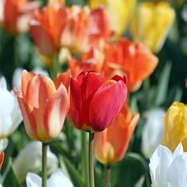 Rosanne Jordan - Stand Out Tulips