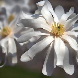 David Simons - Star Magnolias
