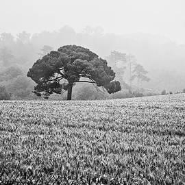 Georgia Fowler - Stone Pine in the Mist