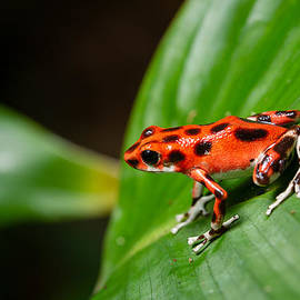 Strawberry Poison Dart Frog - Isla Bastimentos Panama by Carver Mostardi