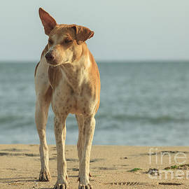 Stray dog on the beach by Patricia Hofmeester
