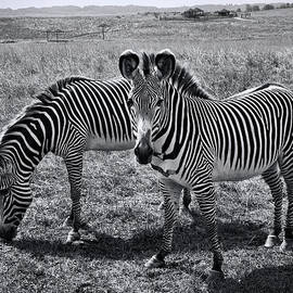 Phyllis Taylor - Stripes Duo