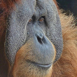 Margaret Saheed - Sumatran Orangutan Deep In Thought