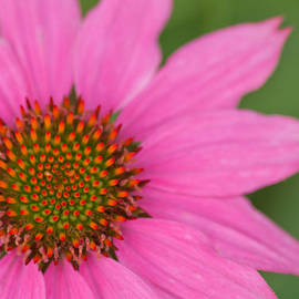 Summer Coneflower by Lindley Johnson